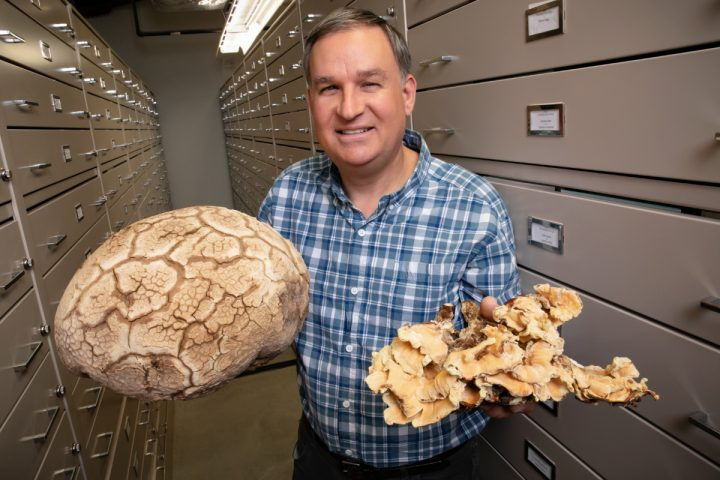 Andrew Miller and his colleagues created the first comprehensive checklist of North American fungi.  Illinois Natural History Survey mycologist Andrew Miller and his colleagues created the first comprehensive checklist of North American fungi. In his right hand, Miller holds the Western giant puffball (Calvatia booniana), and in the other hand, chicken of the woods (Laetiporus sulphureus). Photo by L. Brian Stauffer / University of Illinois