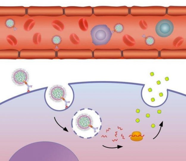 Schematic illustration of the mechanism by which the lab's targeted nanoparticles modulate gene expression in the target cell. Image credit: Nuphar Veiga/American Friends of Tel Aviv University.