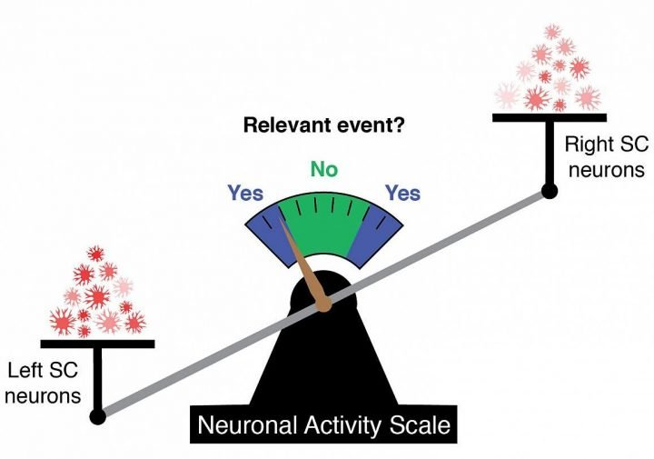 Greater activation of neurons on one side of the superior colliculus versus the other signals the detection of a relevant event. Image credit: James Herman, Ph.D., NEI