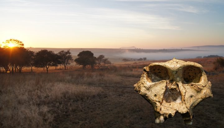 "SK 48, an almost-complete cranium of an adult Paranthropus robustus, is superimposed on a landscape from the area known as the ""Cradle of Humankind"" in South Africa, not far from where it was discovered in the mid-20th century. Image credit: David Strait"