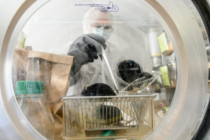 Nacho Vivas, lab manager at the Rey Lab in the Bacteriology Department, checks on a group of germ-free mice inside a sterile lab environment. A new study from the lab showed that mice that harbored the butyrate-producing bacteria Roseburia and that also ate a high-fiber diet suffered from less atherosclerosis and had reduced inflammation compared to mice without the bacteria. Image credit: Bryce Richter, University of Wisconsin-Madison