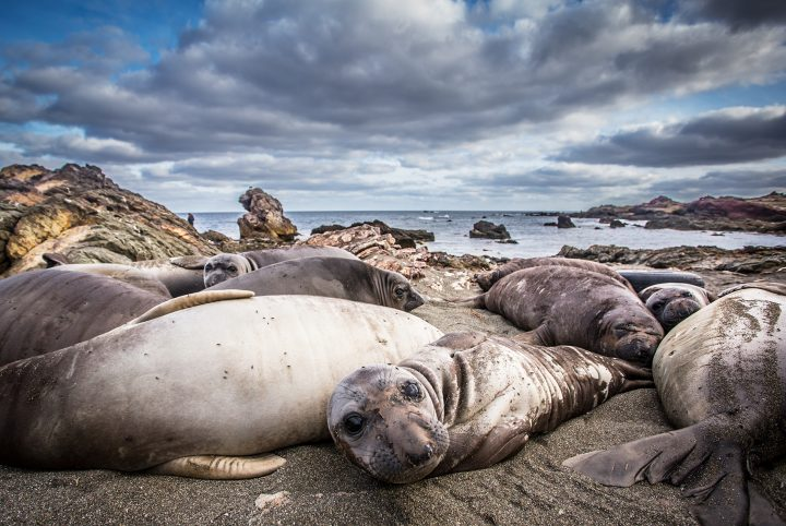 Only a few animals ensured the survival of the northern elephant seal. Although numbers have recovered, today's populations are genetically depleted. Image credit: Bielefeld University/Martin Stoffel