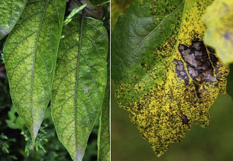 Image shows the Ozone (O3) injury symptoms on sensitive trees: (A) Ailanthus altissima, (B) Populus tomentosa, (C) Rhus typhina, (D) Ulmus pumila. Credit: Wuxing Wan / Environmental Pollution