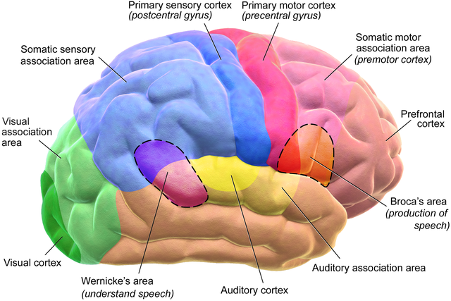 Motor and Sensory Regions of the Cerebral Cortex. Image credit: Blausen.com staff (2014).