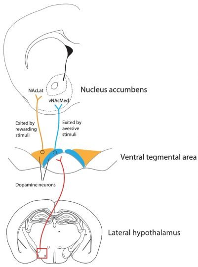 Studies of the dopamine-producing area of the midbrain called the ventral tegmental area (center) have mostly focused on dopamine's role in reward. However, some evidence suggests that dopamine also plays a role in learning about aversive events, though the precise nature of the neural circuitry through which dopamine signals either reward or aversion is incompletely understood. In a new UC Berkeley study, researchers recorded from the axons of midbrain dopamine neurons that project to two areas of the nucleus accumbens (top) and discovered that there are two populations of neurons in the midbrain: the well-known circuit responding to positive motivational stimuli, but a parallel circuit responding to aversive events (blue). They also found that neurons from the lateral hypothalamus (bottom) were critical to priming aversion-sensing neurons to respond to painful stimuli.