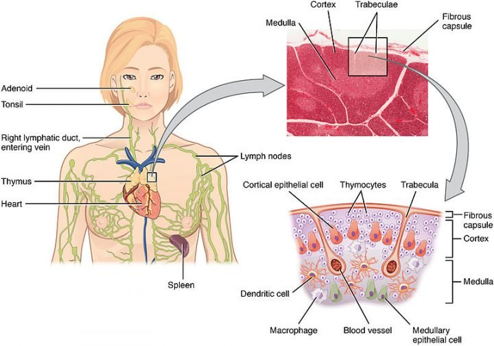 The Location Structure and Histology of the Thymus. Image credit: Anatomy & Physiology, Connexions Web site. https://cnx.org/content/col11496/1.6/ via Wikimedia