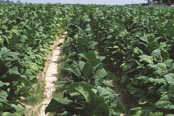 Tobacco plants growing on a farm in North Carolina, USA. Researchers at the University of Tokyo used tobacco seedlings, a common model organism in research labs, to study how plants smell. The discovery is the first to reveal the molecular basis of odor detection in plants. Image credit: United States Department of Agriculture (USDA)