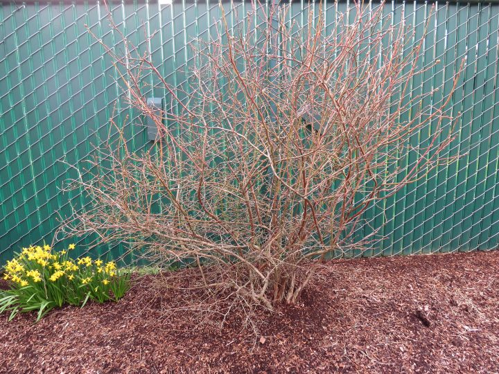 A blueberry bush before pruning. Photo by Neil Bell, Oregon State University via Flickr, CC BY-SA 2.0