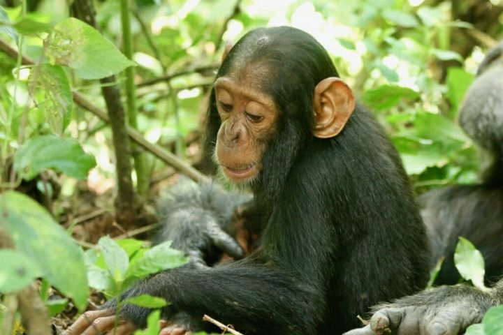 This 2-year-old chimp named Betty succumbed to a human common cold virus in Uganda. The opportunity to retrieve Betty's body before it decomposed or scavengers set in was critical to making the discovery. Image credit: Richard Wrangham, University of Wisconsin-Madison