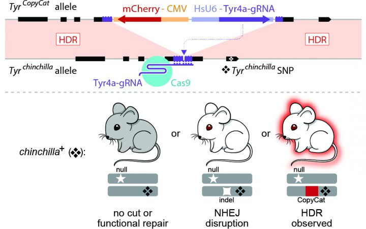 UC San Diego researchers used CRISPR/Cas9 to control genetic inheritance in mammals for the first time. Credit: UC San Diego
