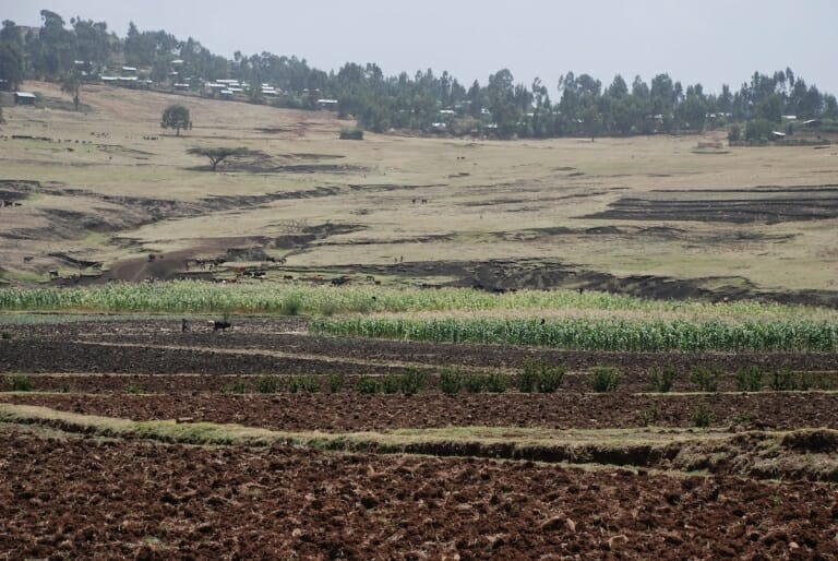Much of the Ethiopian highlands are blanketed in rich soils, but sloping land combined with an intense rainy season can cause widespread erosion. The crop in the center is probably sorghum. Image credit: Michael Eggen
