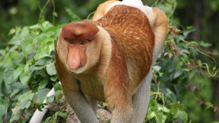 Proboscis monkey. Image credit: Dr. Ikki Matsuda, Chubu University and Kyoto University