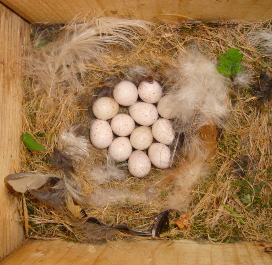 Nest from blue tits with eggs (Cyanistes caeruleus). Credit: Emmi Schlicht, Max Planck Institute for Ornithology