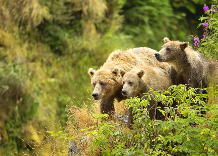 A female bear and her cubs walk near a red elderberry bush on the edge of a cliff on Kodiak Island, Alaska. Photo by Lisa Hupp, U.S. Fish and Wildlife Service