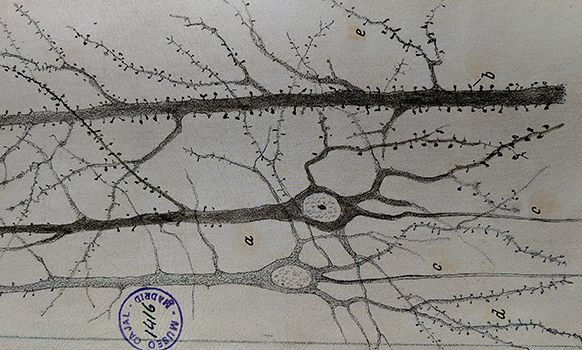 Pyramidal neurons and dendritic spines illustrated by Ramón y Cajal
