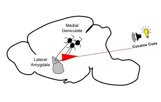 Illustration of the rat brain circuit connections responsible for forming memories that associate cocaine use with external cues. Credit: Adapted from Rich, T.M., et al Cell Reports/Mary Torregrossa