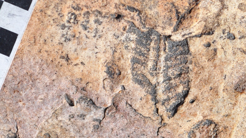 Part of a quilted Ediacaran fossil is partly covered by ancient wind-drift from Namibia (Image courtesy of Greg Retallack, University of Oregon).