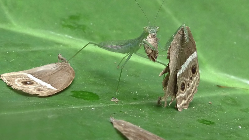 A mantis (Mantodea) eating a Common Bushbrown (Mycalesis perseus) butterfly. Taken at Kadavoor, Kerala, India. Image credit:  Jeevan Jose via Flickr, CC BY-NC-SA 2.0