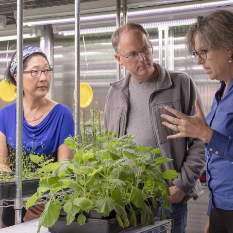 Sue Rhee, Thomas Clandinin and Miriam B. Goodman discuss the NeuroPlant project over a tobacco plant in the greenhouse. (Image credit: L.A. Cicero/Stanford University)