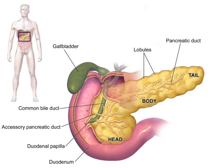 "The pancreas. Blausen.com staff (2014). ""Medical gallery of Blausen Medical 2014"". WikiJournal of Medicine 1 (2). DOI:10.15347/wjm/2014.010. ISSN 2002-4436."