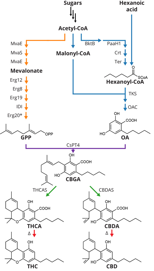 To produce cannabinoids in yeast, Berkeley synthetic biologists first engineered yeast's native mevalonate pathway to provide a high flux of geranyl pyrophosphate (GPP) and introduced a hexanoyl-CoA biosynthetic pathway combining genes from five different bacteria. They then introduced Cannabis genes encoding the enzymes involved in olivetolic acid (OA) biosynthesis, a previously undiscovered prenyl transferase enzyme and cannabinoid synthases. The synthases converted cannabigerolic acid (CBGA) to the cannabinoid acids THCA and CBDA, which, upon exposure to heat, decarboxylate to tetrahydrocannabinol (THC) and cannabidiol (CBD), respectively.