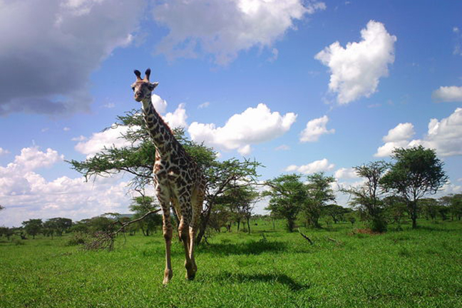 Recent camera trap projects have collected millions of images like this image of a giraffe. Without the help of computers, it could take researchers years to classify all of the images, even with the help of citizen scientists. Image credit: Snapshot Serengeti