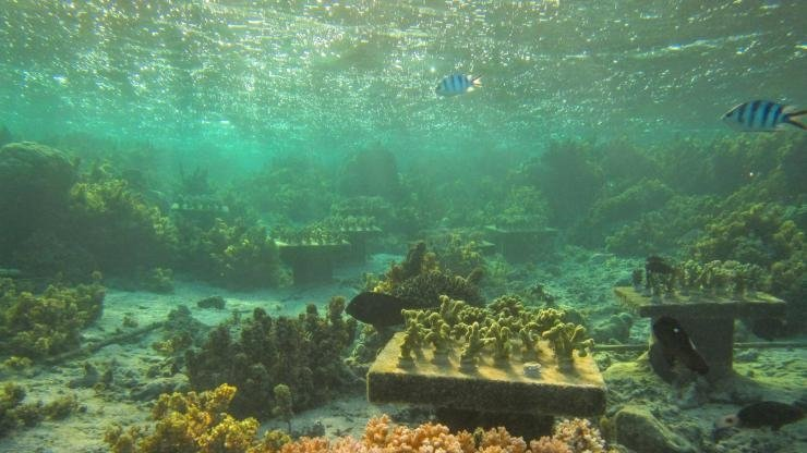 """Tables with coral gardens painstakingly planted by Georgia Tech researcher Cody Clements. At bottom, the close up table shows Pocillopora corals developing a pattern of death where one individual started dying and then others fell like dominos. This table was a """"monoculture."""" It contained only one species and not a group of species. Tables with groups of species did better than monoculture tables in the same reef area off of Fiji in the Pacific. Credit: Georgia Tech / Cory Clements"""