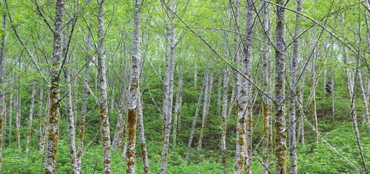 A stand of red alder trees in the Oregon Coast Range. Photo by Andrew Bluhm, Oregon State University.
