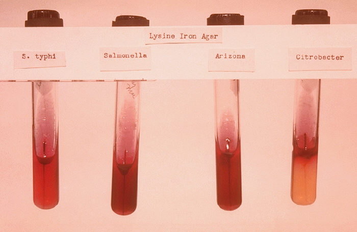 Stab cultures of Salmonella typhi and controls. Image credit: CDC, Public Domain