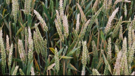 A field of wheat infected with Fusarium Head Blight. Image credit: Neil Brown.