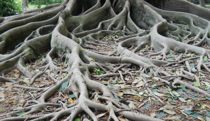 Aerial roots of the Ficus aurea tree, in Florida. (Image by Roser Matamala, Argonne National Laboratory.)