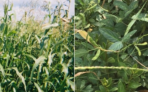Left: highly branched plants of teosinte, a wild relative of corn. Right: tiny pods on the vine of Glycine soja, wild relative of soybean. New research sheds light on how domestication affects the genomes of corn and soybeans. Illustration by Sherry Flint-Garcia (teosinte) and Scott Jackson (Glycine soja) / USDA ARS via Iowa State University