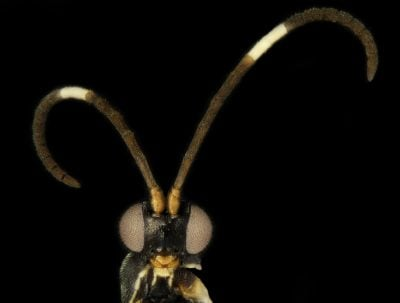 The new wasp species Sathon oreo – inspired by the dark brown antennae with a thick white stripe in the middle. Credit: Dr Erinn Fagan-Jeffries