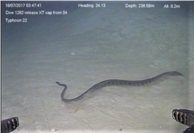 Record-setting dive of a sea snake swimming at 240 metres in the deep-sea 'twilight zone' taken in July 2017. Image credit: INPEX-operated Ichthys LNG Project.