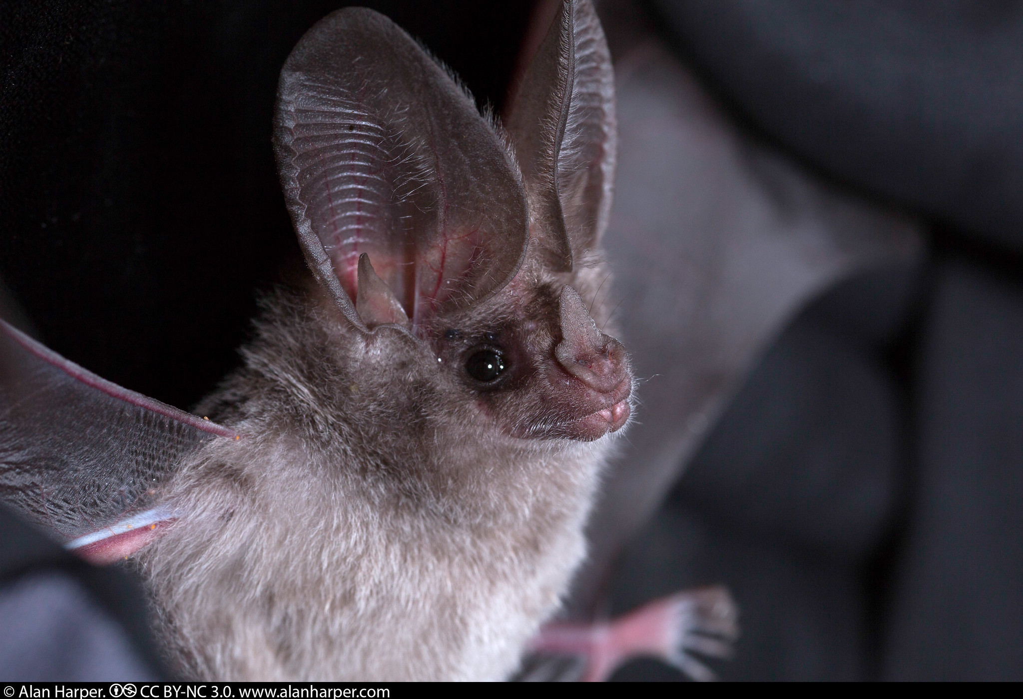 California leaf-nosed bat. Image credit: Alan Harper via Flickr, CC BY-NC 2.0