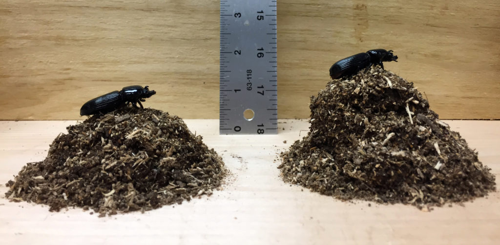 Left: Three months of processed wood (60 g) by a beetle with no nematodes. Right: Three months of processed wood (70 g) by a beetle with nematodes. Image credit: Andy K. Davis / UGA