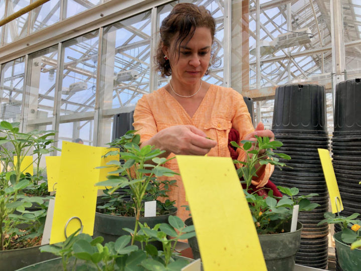 Soroya Bertioli inspects peanut plants at the UGA Institute for Plant Breeding, Genetics and Genomics greenhouse.