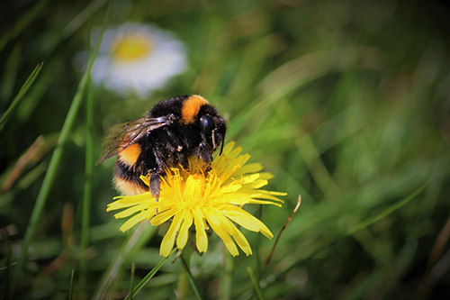 A bumblebee queen forages from a dandelion, one of the few sources of pollen and nectar in the early spring. Image credit: Tom Timberlake
