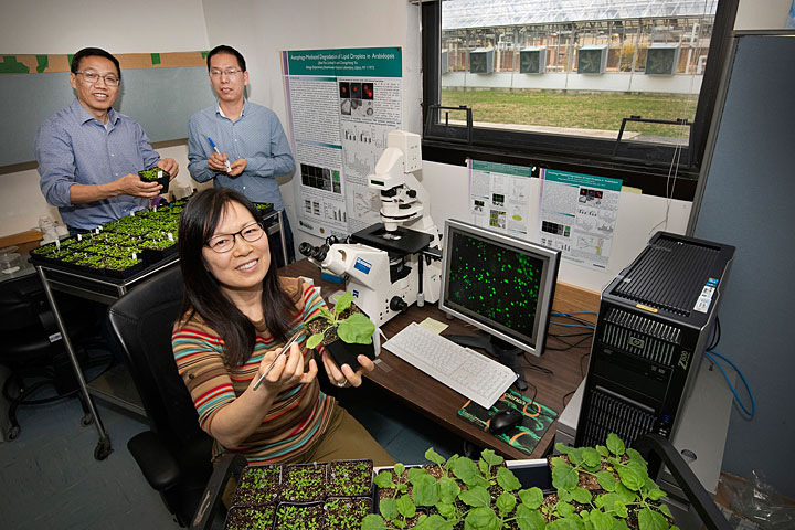 """Changcheng Xu (rear, left), Linhui Yu, and Jilian Fan (seated) with Arabidopsis plants they used to study the role of autophagy, or """"self-eating,"""" in oil biosynthesis and the breakdown of lipid droplets at Brookhaven National Laboratory."""