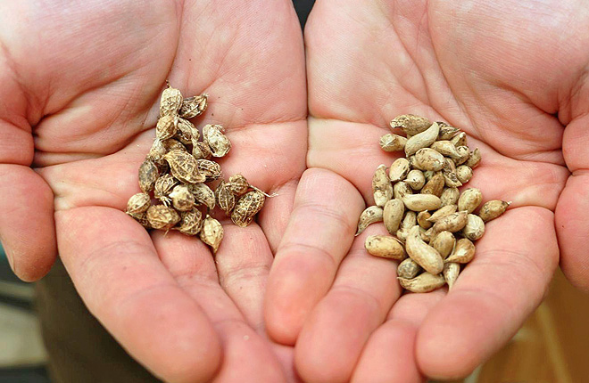 Two wild ancestors—Arachis ipaensis (left) and Arachis duranensis (right)—of the cultivated peanut. Photo by Merritt Melancon/University of Georgia.