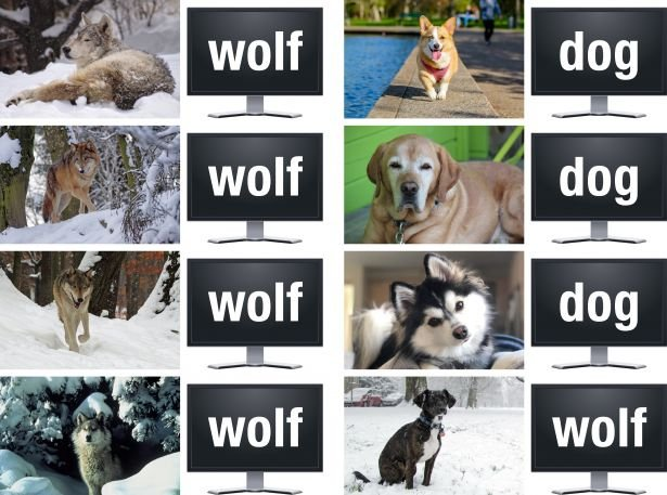 Machine learning algorithms can be trained to distinguish wolves from dogs in photographs, but sometimes these algorithms learn incorrectly by assuming that any animal pictured with snow in the background is a wolf (bottom right). Two School scientists argue that scientific applications of machine learning also need to be monitored to ensure they are working properly.
