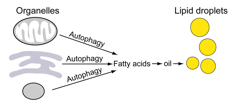 By radiolabeling precursor chemicals plants use to make fatty acids and tracking where the labeled fatty acids went over time, Brookhaven Lab scientists discovered a key role for autophagy in oil biosynthesis. The labeled fatty acids were first incorporated into the membranes of organelles, then released by autophagy when those membranes were broken down. Only then were the fatty acids assembled into oils for storage in lipid droplets.