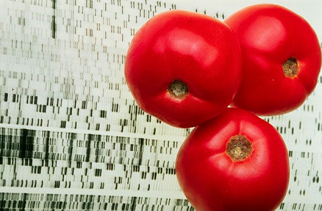 A retooled gene in Endless Summer tomatoes controls ripening to give better flavor and shelf-life. Illustration by Jack Dykinga / ARS USDA