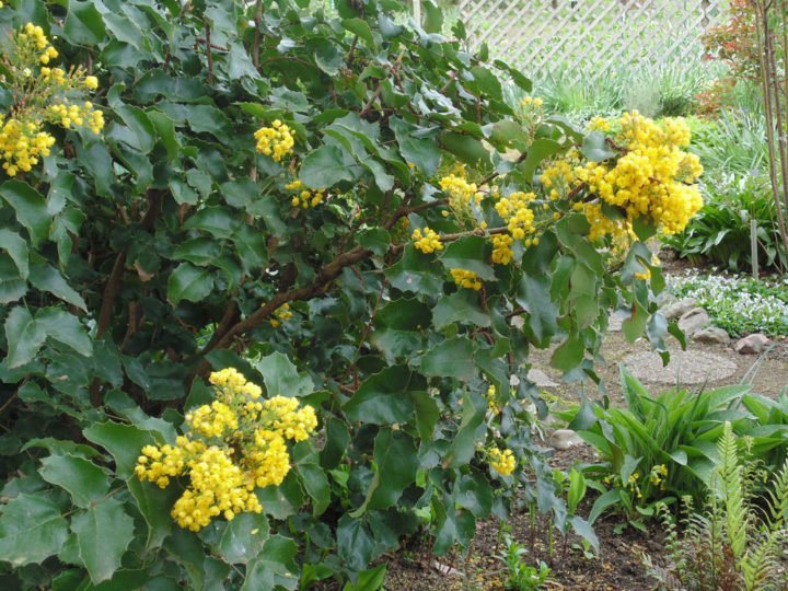 Give standout native Oregon grape a prominent place in the garden. Photo by Kym Pokorny, Oregon State University