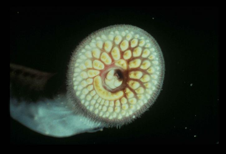 Sea lamprey. Image credit: USFWS, Public Domain via Pixnio