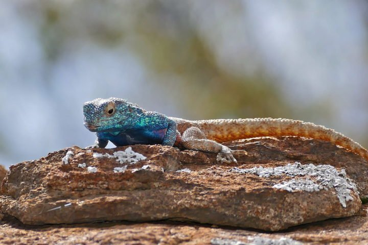 A predictive framework for estimating how a species' behavior might mitigate the ill effects of rising temperatures was first tested on the southern rock agama lizard, a species native to South Africa. Image credit: Bernard Dupont via Flickr, CC BY-SA 2.0
