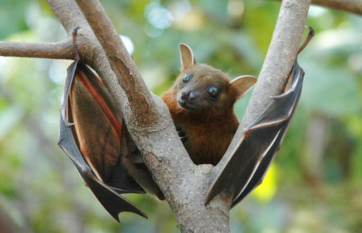 Greater short-nosed fruit bat - photographed in Batticaloa, Sri Lanka in daylight while it was moving branch to branch. Image credit: Anton 17 via Wikimedia, CC-BY-SA-4.0