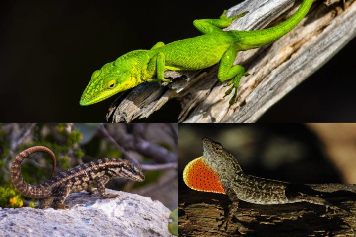 To study the impacts of invading predators, a research team led by Princeton's Rob Pringle used three lizard species: one predator, the curly-tailed lizard (Leiocephalus carinatus, bottom left), and two prey species, green anoles (Anolis smaragdinus, top) and brown anoles (Anolis sagrei, bottom right). They found that the anoles could coexist peacefully, with green anoles in the trees and brown anoles closer to the ground, but introducing predators drove the brown anoles into the trees, intensifying competition and undermining their ability to coexist. Their results therefore challenge the generality of the keystone-predation hypothesis and support refuge competition. Illustration by Jonathan Losos, Washington University (bottom right) and Kiyoko Gotanda, McGill University (bottom left and top)