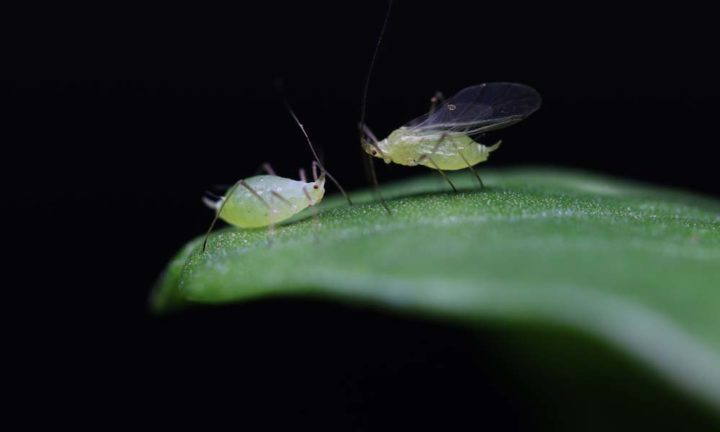 Jennifer Brisson, an associate professor of biology at the University of Rochester, and her former postdoctoral student Benjamin Parker uncovered genes that influence whether aphids produce wingless (aphid on the left) or winged (aphid on the right) offspring in response to crowding in their environment. Image credit: University of Rochester photo / Omid Saleh Ziabari