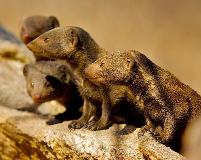 Group of dwarf mongooses which respond to threats of rival groups with various changes in within-group behaviour. Image credit: Shannon Wild/University of Bristol